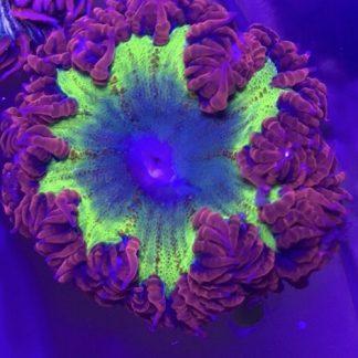 Ultra Rock Flowers